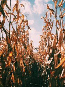 fall corn maze